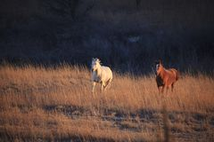 Two horses galloping during sunset royalty free stock image