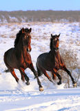 Two Horses Galloping In Field Stock Photography
