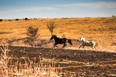 Two horses galloping. And stirring up dust in a field in Kansas stock photos