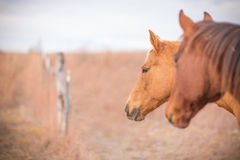 Two horses at gate entrance Stock Photo