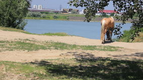 Two horses go to river stock video footage
