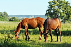 Two horses at grass Royalty Free Stock Photo