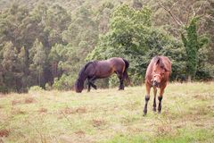 Two horses in a grass field Royalty Free Stock Photo