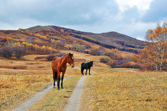 Two horses on the grassland Royalty Free Stock Photos