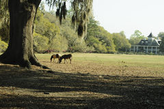 Two horses graze beneath an old tree in springtime. Two horses graze in a field of grass beneath an old tree in March of 2012 with the Magnolia Plantation house Royalty Free Stock Images