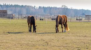 Two horses graze in the meadow. Twain beautiful horses royalty free stock image