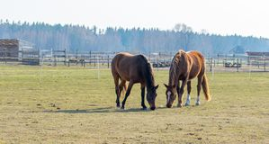 Two horses graze in the meadow. Twain beautiful horses. royalty free stock photography