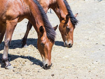 Two horses graze on  pasture and eat hay from the ground Royalty Free Stock Photo