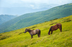 Two horses is grazed against mountains in the summer. Stock Photography