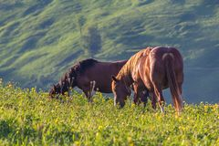 Two horses are grazed on the mountain plain lit with the sun. Carpathians Royalty Free Stock Images