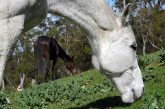 Two horses grazing. A grey horse and a bay horse grazing Stock Photos