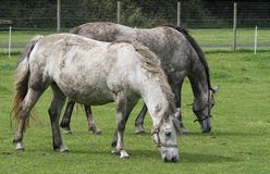 Two Horses Grazing. Two dappled horses stroll and graze side by side in a grass field Stock Image