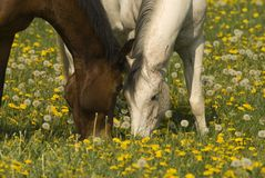 Two horses grazing. Peaceful image of two horses grazing in a dandelion meadow Stock Images