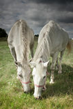 Two horses grazing Royalty Free Stock Image