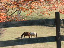 Two horses grazing. Two hroses grazing in the midst of fall foliage Stock Photos
