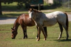 Two Horses Grazing. Bay Quarter Horse gelding and roan Appaloosa mare grazing in pasture with a soft focus Stock Photography