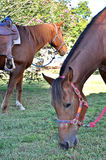 Two horses grazing Stock Photography