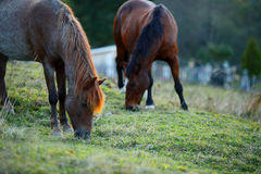 Two Horses grazing on farme Stock Image