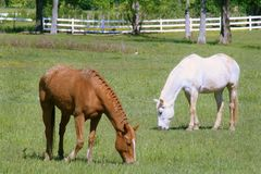 Two horses grazing in field Stock Photography