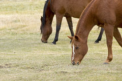 Two Horses Grazing In A Field. Two horses contently eating grass in a green field Royalty Free Stock Photos