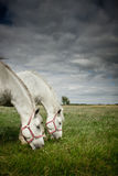 Two horses grazing in  field Royalty Free Stock Photo
