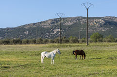 Two horses grazing in the field Stock Photos