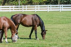 Horses Grazing. Two horses grazing in a field Royalty Free Stock Photos