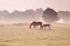 Two horses grazing in fog Royalty Free Stock Images