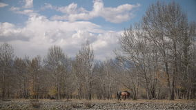 Two Horses grazing in the forest in the late autumn cloudy day stock video footage