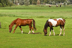 Two horses grazing on grassland Royalty Free Stock Images
