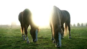Two horses grazing on green field at livestock farm. Horse pasture stock video
