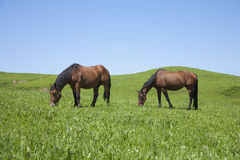 Two horses grazing Royalty Free Stock Photography