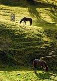 Two horses grazing on the gassy hillside. Two horses grazing on the green gassy hillside. lovely scenery on farm outdoor Royalty Free Stock Photo