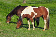 Two horses grazing in a green meadow Stock Image