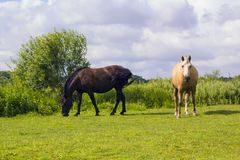 Two horses grazing on green meadow Royalty Free Stock Photo