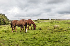 Two Horses Grazing. In the grounds of Scottish counrty house Stock Photography