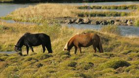 Two horses are grazing in icelandic meadows near river in sunny day, bird is sitting on a back. Of one horse stock video footage