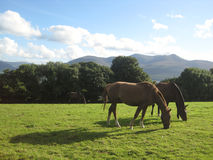Two horses grazing in Killarney, Ireland Royalty Free Stock Photography