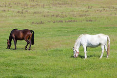 Two horses grazing in a meadow Royalty Free Stock Photo