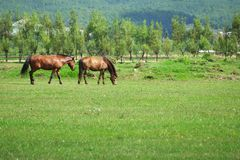 Two horses grazing on the meadow Royalty Free Stock Images