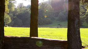 Two horses grazing in a meadow stock video