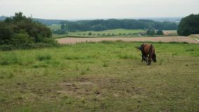 Two horses grazing in a meadow stock video footage