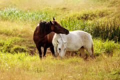 Two horses grazing on the meadow Stock Image