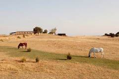 Two horses grazing in the meadow with dry grass Royalty Free Stock Images
