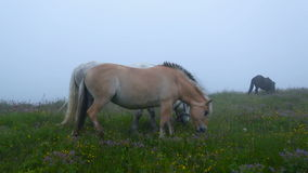 Two horses grazing in a meadow with flowers. In the fog eating juicy grass. Two horses of different breeds and colors. Two horses in full growth medium shot stock video