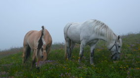 Two horses grazing in a meadow with flowers stock video footage