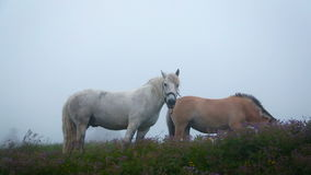 Two horses grazing in a meadow with flowers. In the fog eating juicy grass. Two horses of different breeds and colors. Two horses in full growth medium shot stock video footage
