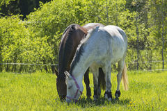 Two horses grazing  on meadow Royalty Free Stock Image