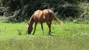 Two horses grazing in a meadow stock footage