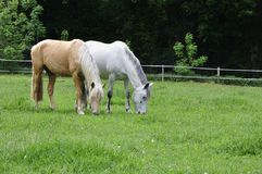 Two Horses Grazing on Meadow Royalty Free Stock Photo